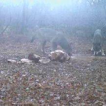 Vukovi piju vodu u Lovreću (Foto: Dnevnik.hr)