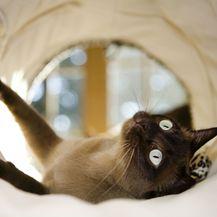 Mačka tonkinese