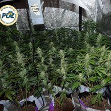 Policija otkrila laboratorij marihuane (Foto: PUZ) - 2