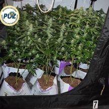 Policija otkrila laboratorij marihuane (Foto: PUZ) - 4