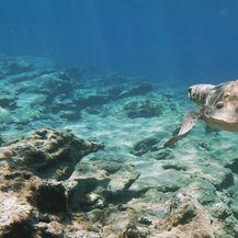 Hrvatska vodi projekt spašavanja dragocjenih morskih kornjača diljem Europe