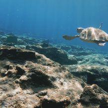 U Hrvatskoj je najveća opasnost zaplitanje u ribarske mreže i slučajni ulov u koče (Foto: Getty Images)