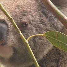 Koala kraj grane