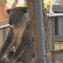 Koala na drveću