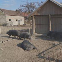 Crna slavonska svinja sve traženija - 1