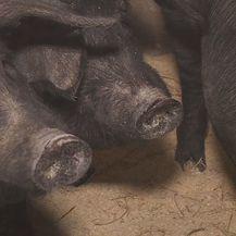 Crna slavonska svinja sve traženija - 2