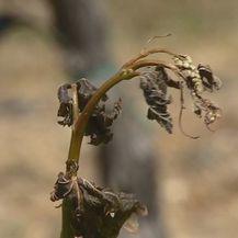 Male odštete vinogradarima u Konavlima (Foto: Dnevnik.hr)