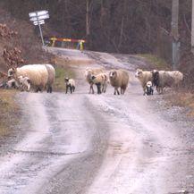 Ovce u selu Javornik (Foto: Dnevnik.hr)