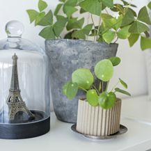 Pilea peperomioides (Kineski dolar) je biljka koja privlači energiju bogatstva i blagostanja - 5