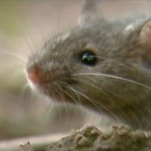 Poljski miševi - 2