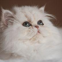 Perzijska mačka jedna je od najstarijih pasmina na svijetu - 3