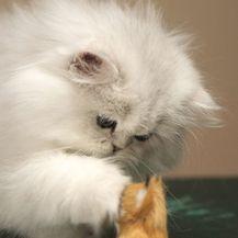 Za perzijsku macu jako je važno da od malena provodi vrijeme u društvu ljudi
