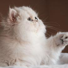 Perzijska mačka jedna je od najstarijih pasmina na svijetu