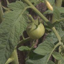 Zelena rajčica (Foto: Dnevnik.hr)