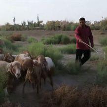 Crvene ovca u Kina - 4