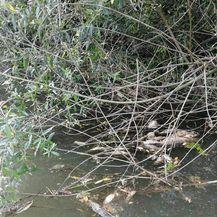 Pomor ribe u rijeci Orljavi - 1