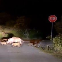 Divlje svinje na jugu Istre - 4
