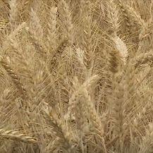Polje pšenice - 1