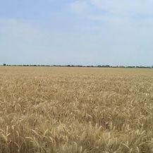 Polje pšenice - 3