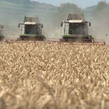 Polje pšenice - 4