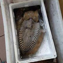 Ribar s Krka ulovio sipu težu od 4 kilograma (Foto: Dnevnik.hr)