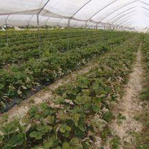 Zbog nedostatka radnika poljoprivrednicima probada urod (Foto: Dnevik.hr) - 1