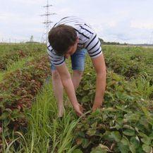 Zbog nedostatka radnika poljoprivrednicima probada urod (Foto: Dnevik.hr) - 2