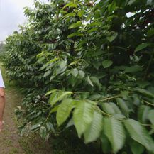 Zbog nedostatka radnika poljoprivrednicima probada urod (Foto: Dnevik.hr) - 3