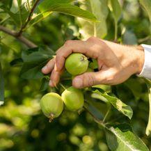 Tvrtka Rabo godišnje proizvede oko 6 tisuća tona jabuka