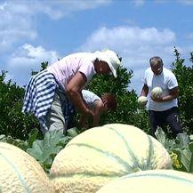 Uvoz uništava poljoprivredu u Neretvi (Video: Dnevnik Nove TV)
