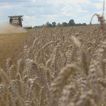 Počela žetva pšenice (Foto: Dnevnik.hr) - 3