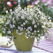 Ljetni cvijet bakopa divan je izbor za uređenje balkona