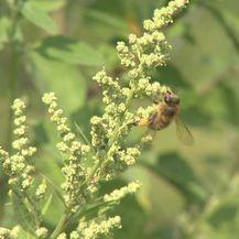 Opasnost od ambrozije i alergije (Foto: Dnevnik.hr)