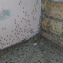 Invazija komaraca u Slavoniji (Video: Dnevnik Nove TV)