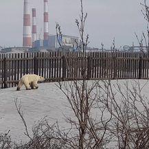 Polarni medvjed luta industrijskim gradom u Rusiji (Foto: AFP) - 3