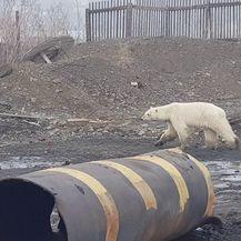 Polarni medvjed luta industrijskim gradom u Rusiji (Foto: AFP) - 4