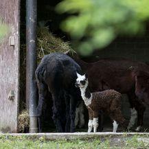 Mladunče alpake novi je stanovnik Zoološkog vrta grada Zagreba