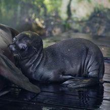 Mladunče kalifornijskog morskog lava i mladunče alpake novi su stanovnici Zoološkog vrta grada Zagreba - 6