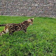 Bengalska mačka zbog svojeg točkastog krzna podsjeća na leoparda - 6