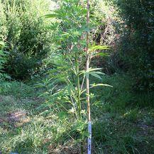 Pronađene stabljike marihuane u Istri (Foto: PU istarska) - 1