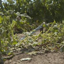 Tuča uništila poljoprivrednu kulturu - 4