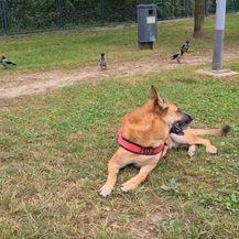 Pas i vrane