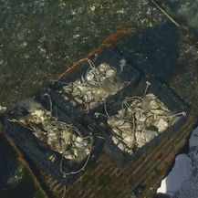 Kamenice iz Malostonskog zaljeva (Foto: Dnevnik.hr) - 3