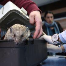 Uginuo ježić kojeg su djeca šutirala pred osnovnom školom (Foto: Miranda Cikotic/PIXSELL) - 4