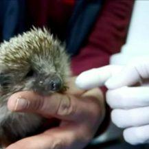 Uginuo je ježić kojeg su zlostavljali učenici (Video: Dnevnik Nove TV)