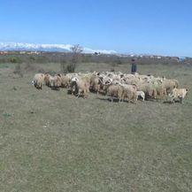 Stado ovaca (Foto: Dnevnik.hr) - 3