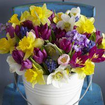 Narcise: Nježni cvijet jači i od snijega - 2