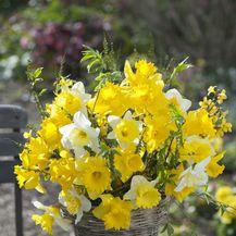 Narcise: Nježni cvijet jači i od snijega - 6