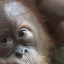 Ruski turist je pokušao prokrijumčariti mladunče ugroženog orangutana (Video: APTN)