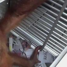 Beba orangutan sada je na sigurnom (Video: APTN)